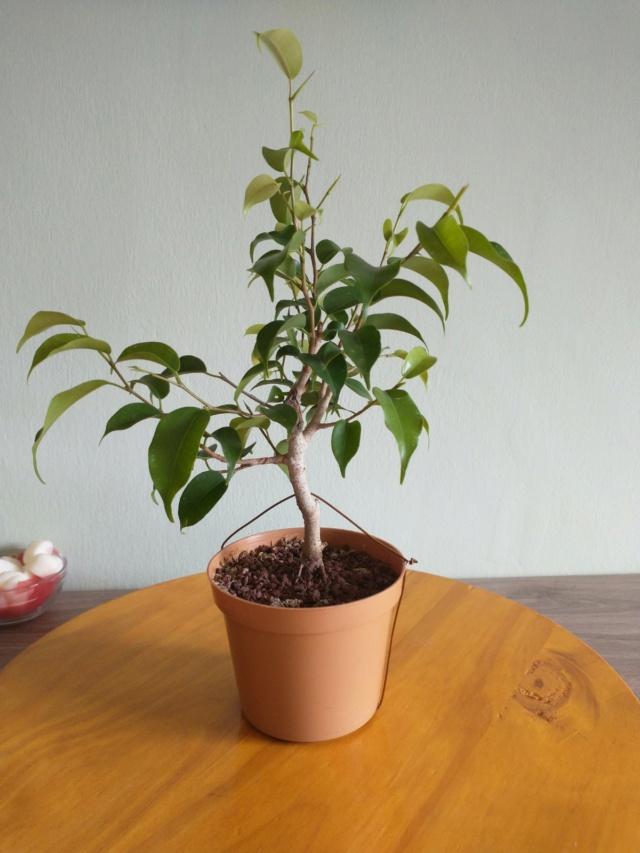 Cultivando y Diseñando Ficus Natasja Img_2010