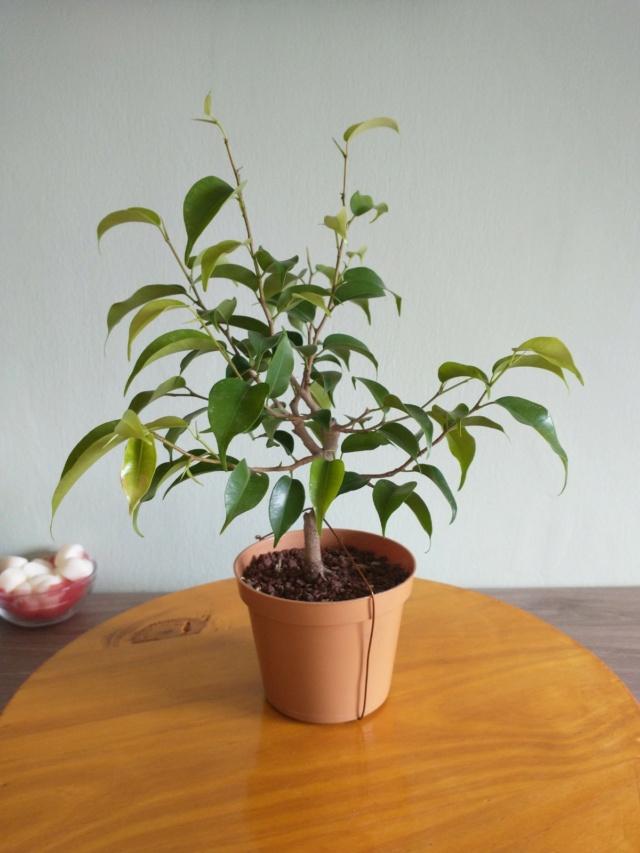 Cultivando y Diseñando Ficus Natasja Img_2011