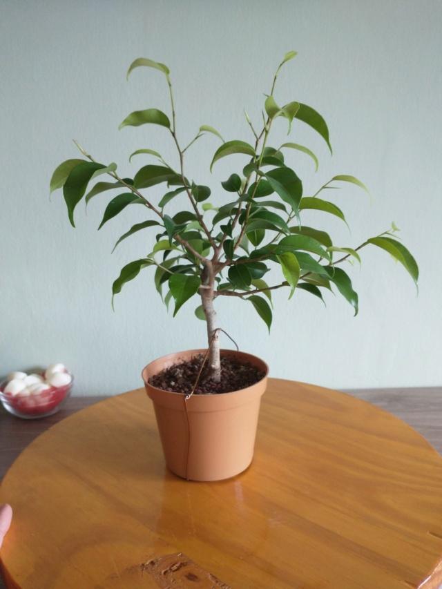 Cultivando y Diseñando Ficus Natasja Img_2012