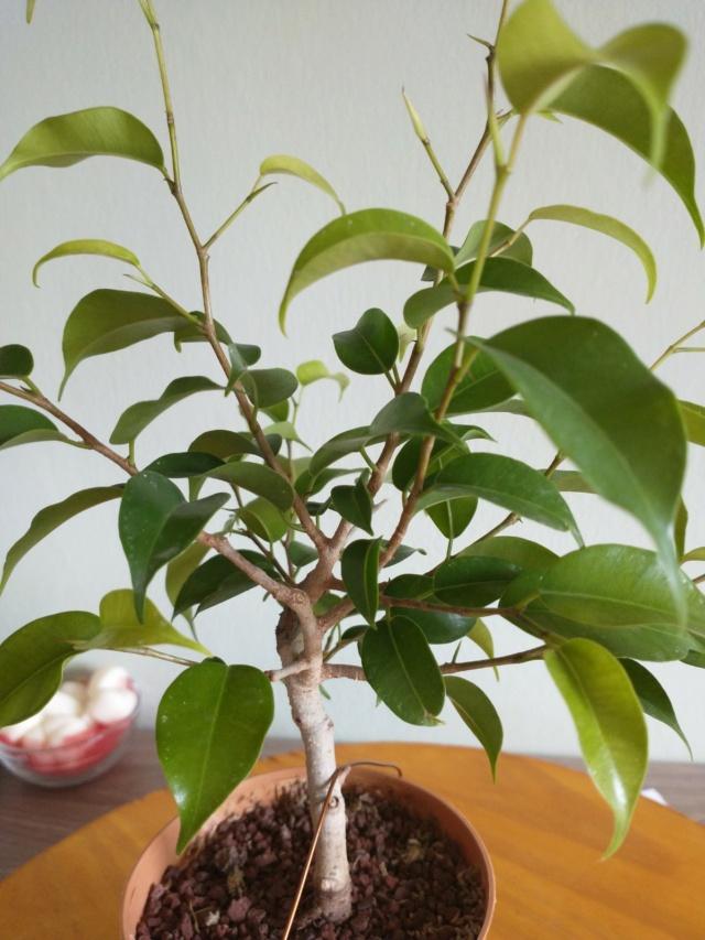 Cultivando y Diseñando Ficus Natasja Img_2014