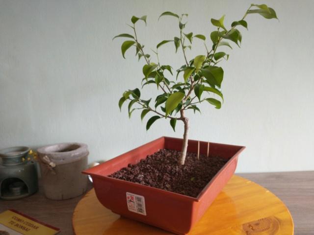 Cultivando y Diseñando Ficus Natasja Img_2015
