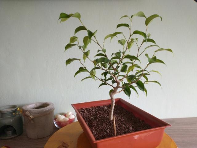 Cultivando y Diseñando Ficus Natasja Img_2016