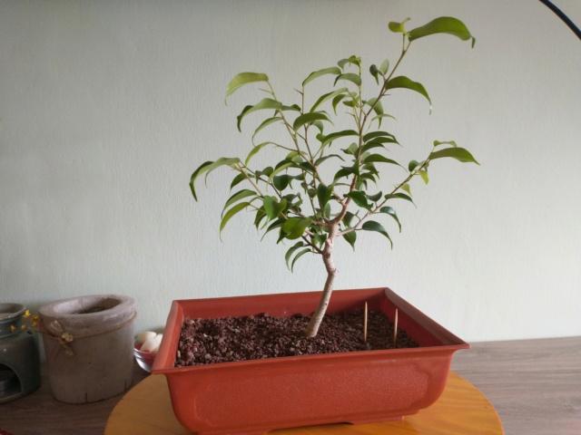 Cultivando y Diseñando Ficus Natasja Img_2017