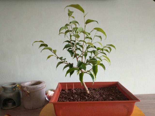 Cultivando y Diseñando Ficus Natasja Img_2019