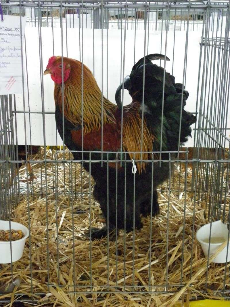 Exposition nationale d'aviculture : Rochefort le 26 et 27 février 2011 Brahma14
