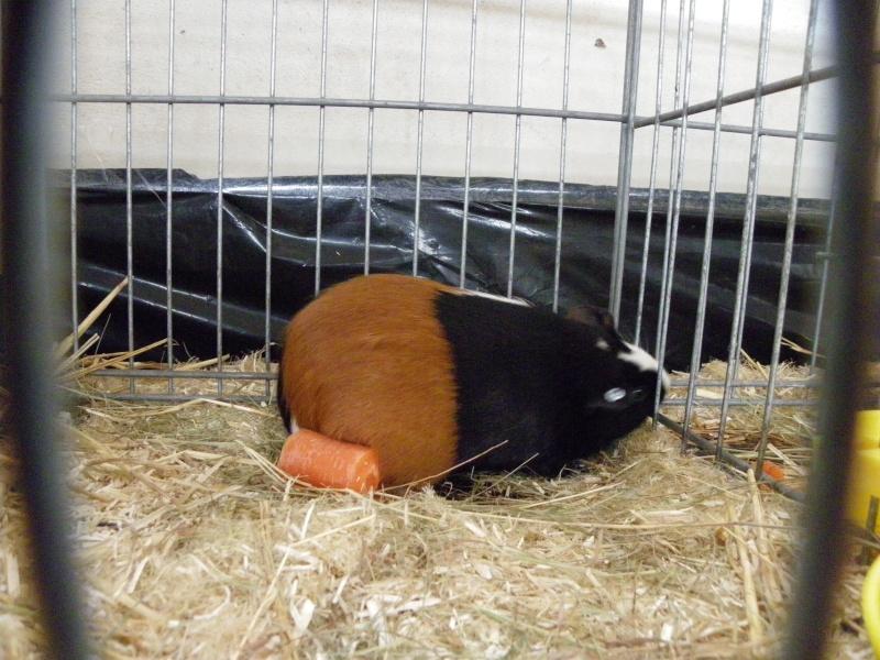 Exposition nationale d'aviculture : Rochefort le 26 et 27 février 2011 Cobaye10