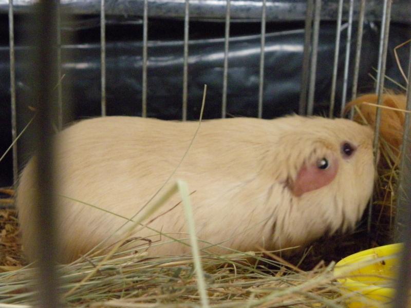 Exposition nationale d'aviculture : Rochefort le 26 et 27 février 2011 Cobaye11