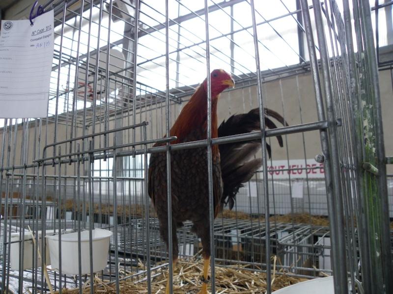 Exposition nationale d'aviculture : Rochefort le 26 et 27 février 2011 Combat11
