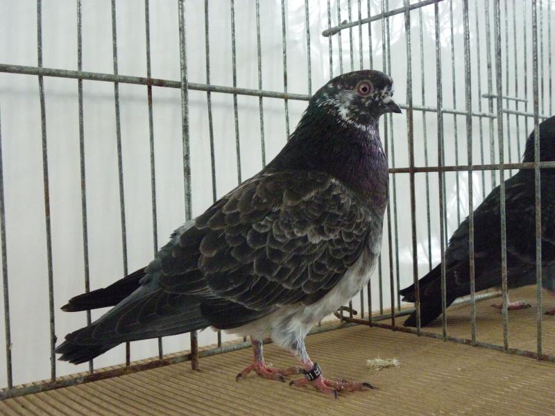 Exposition nationale d'aviculture : Rochefort le 26 et 27 février 2011 Culbut10