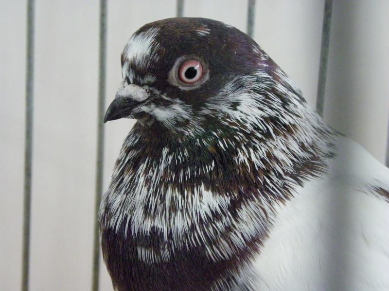 Exposition nationale d'aviculture : Rochefort le 26 et 27 février 2011 Culbut11