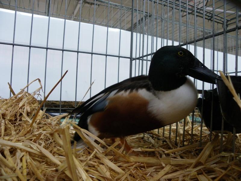 Exposition nationale d'aviculture : Rochefort le 26 et 27 février 2011 Souche10
