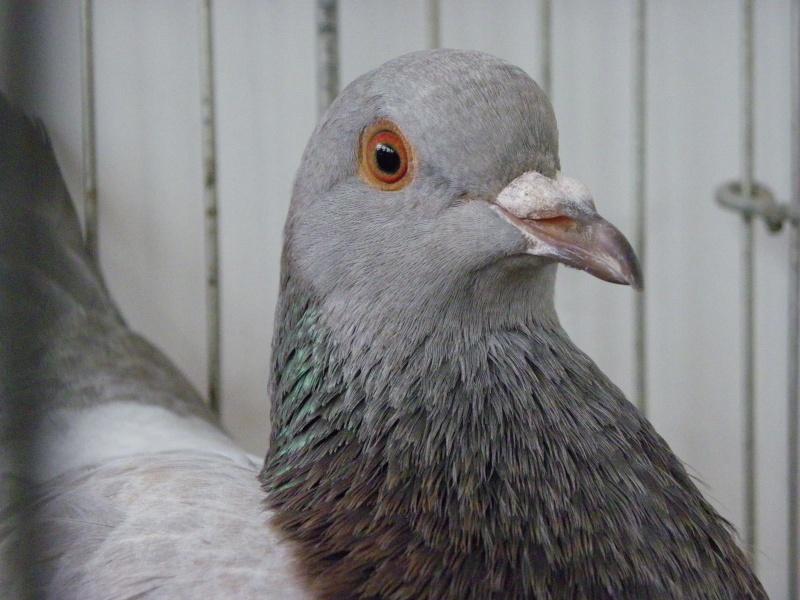 Exposition nationale d'aviculture : Rochefort le 26 et 27 février 2011 Texan_12