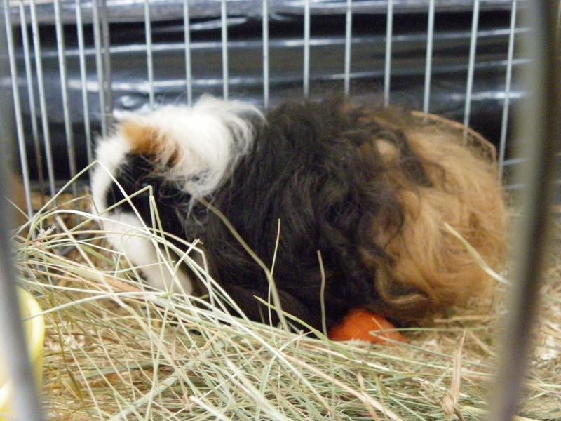 Exposition nationale d'aviculture : Rochefort le 26 et 27 février 2011 Texel_11