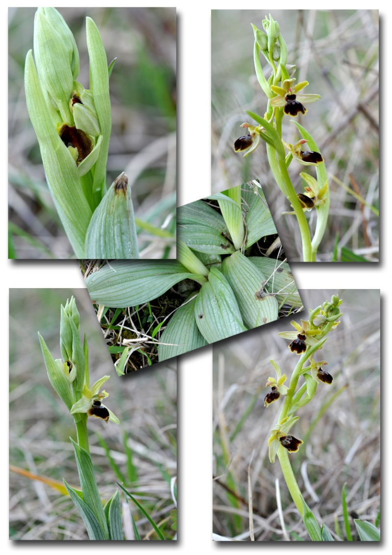 Ophrys litigiosa ( araneola ) Ophrys12