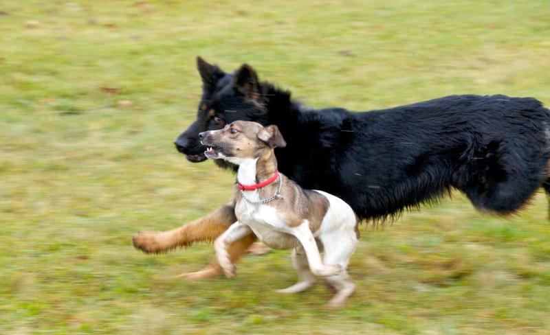 chiens et essai du 50-200 Dog10