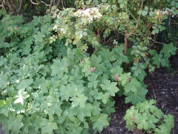 je cherche quelque plantes vivaces Gerani10