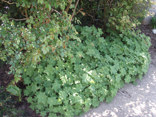 je cherche quelque plantes vivaces Gerani11
