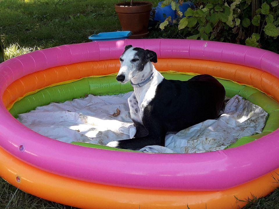 Careta grande galga noire et blanche, bientôt 6 ans.Scooby France  Adoptée  - Page 6 Resize11