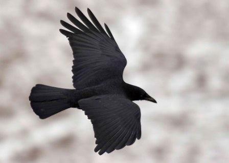 Aspects totémiques du Corbeau Corbea11