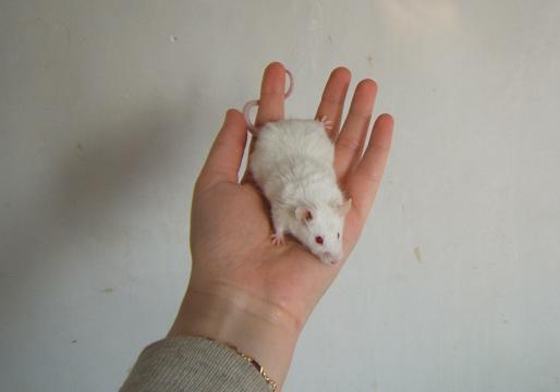 Plein de petites souris à l'adoption ! Gordon10