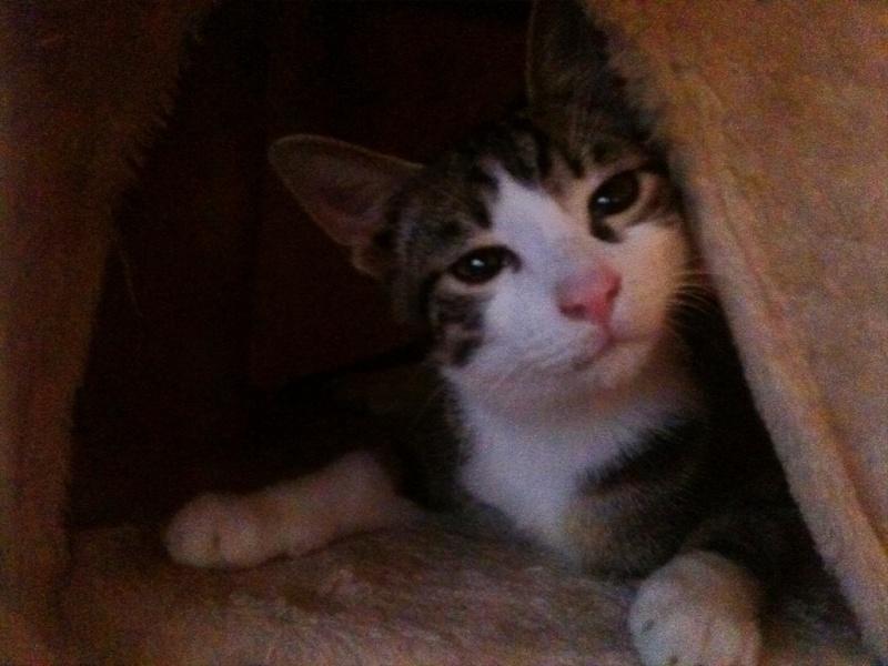 Lilas, 8 mois, et ses 5 chatons née le 29/05/2010 Ipcham11