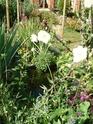 le jardin de Giroflée 2 - Page 18 Fleurs14
