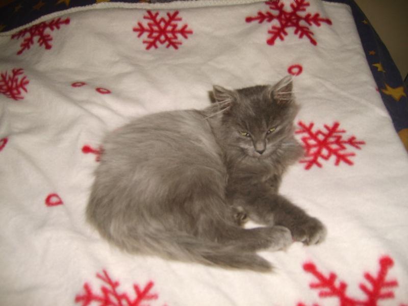 Toulouse chaton gris de 3 mois. S6000610