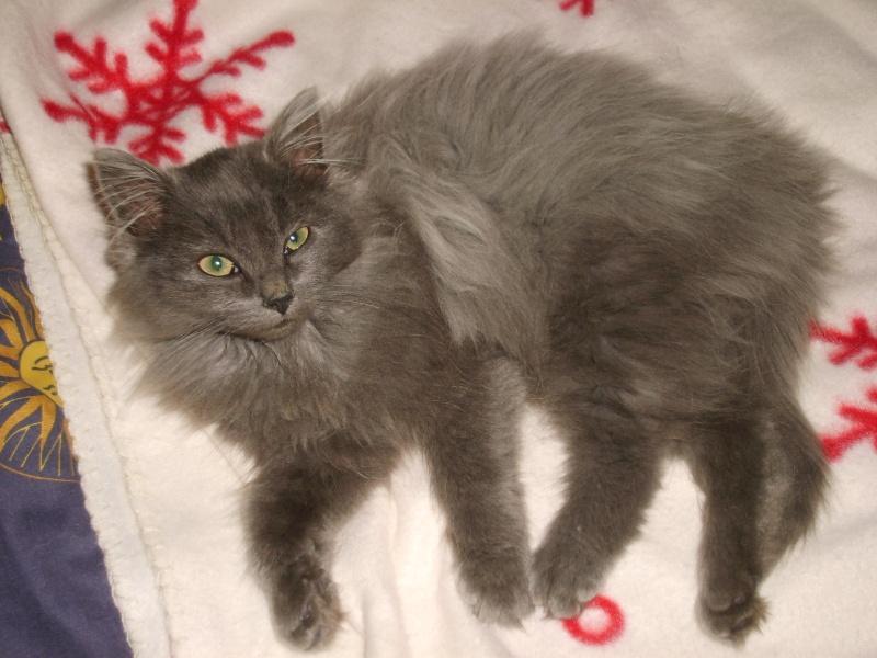 Toulouse chaton gris de 3 mois. S6000611