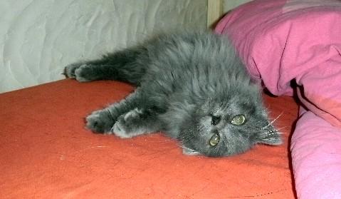 Toulouse chaton gris de 3 mois. - Page 2 Toulou10