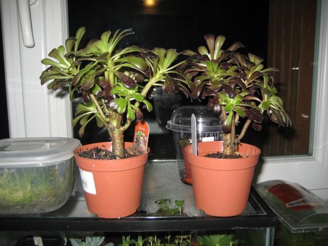 Plantes grasses en terra desertique Adapta25