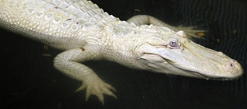 Mr Loclan -hybride alligator blanc- Prdef_10