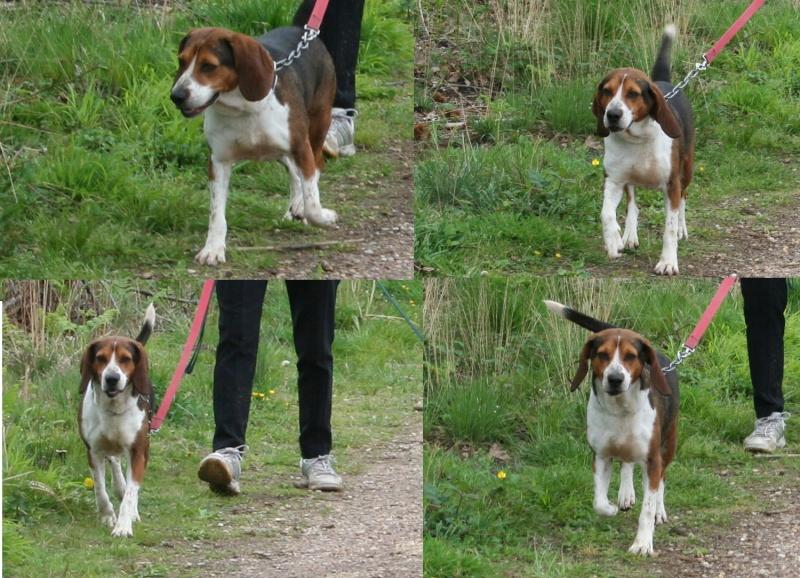 DIEGO, croisé beagle mâle, 3 ans (40) Rescue20