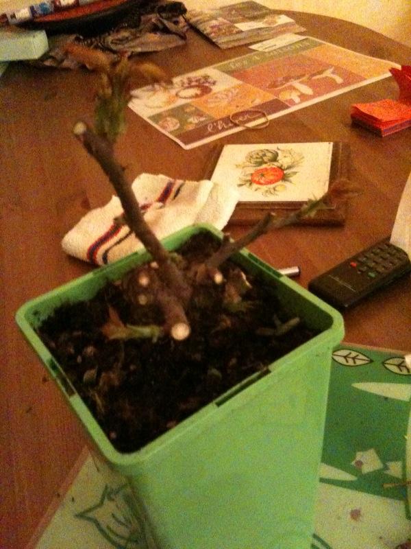 Rosier en bonsaï Photo_10