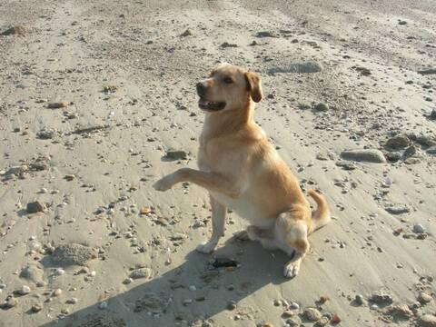 56 Beau Et Adorable X Labrador Golden Retriever 1 An A Donner