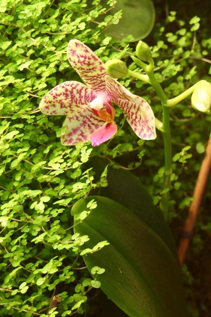 """Mon orchidérarium """"Par Francis"""" - Page 2 Orchid15"""