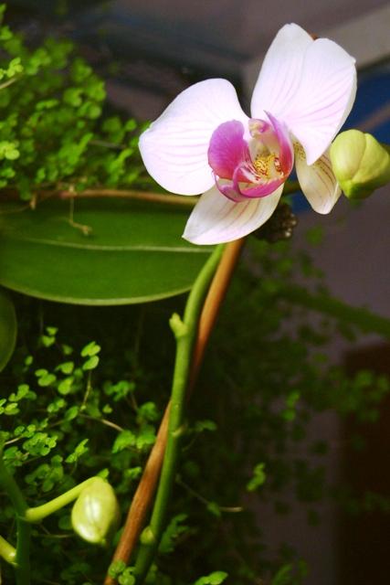 """Mon orchidérarium """"Par Francis"""" - Page 2 Orchid16"""