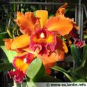 Recherche orchidée cattleya Cattle10