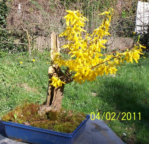 Forsythia - Page 2 Forcit10