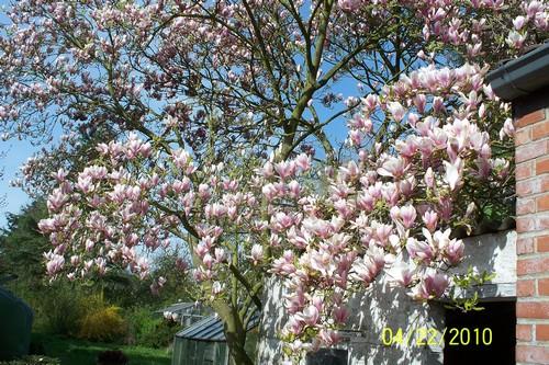 magnolia Magnio10