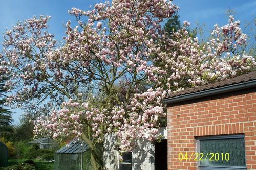 magnolia Magnio11