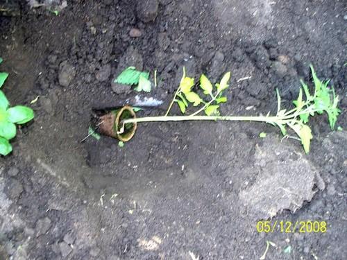 culture des tomates Plant_12
