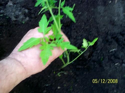culture des tomates Plant_13