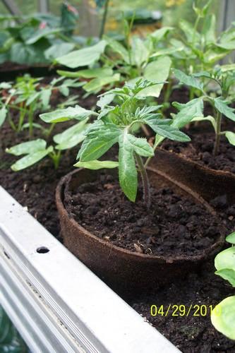 culture des tomates Repica10