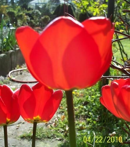 Contre jour Tulipe10