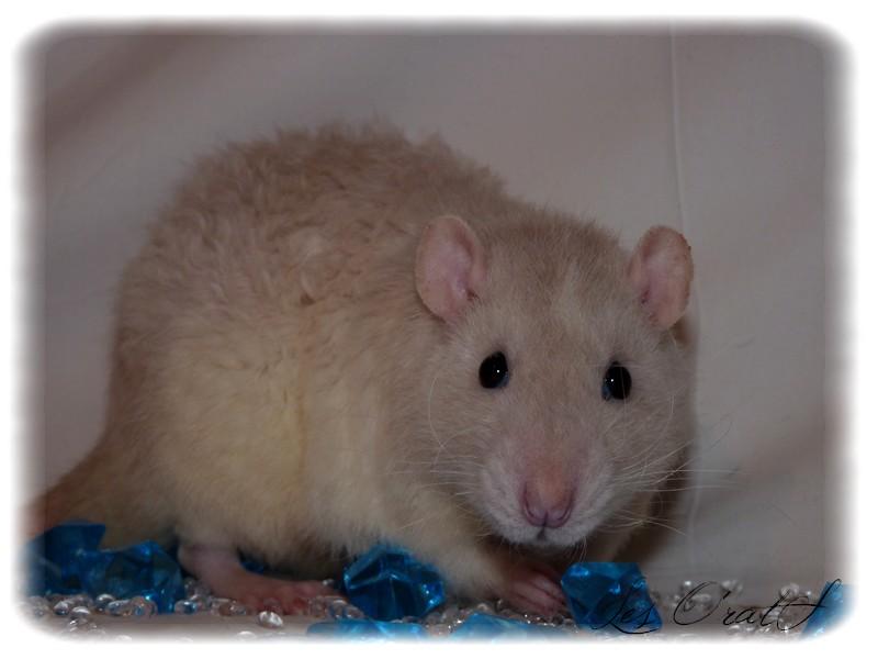 [GÉNÉTIQUE]  Marquages et dilutions du rat domestique Dexter15