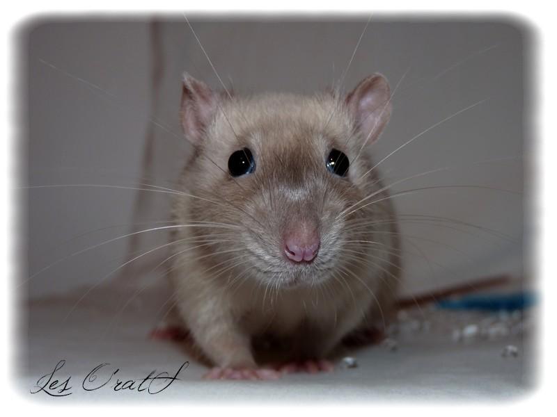 [GÉNÉTIQUE]  Marquages et dilutions du rat domestique - Page 2 Diego10
