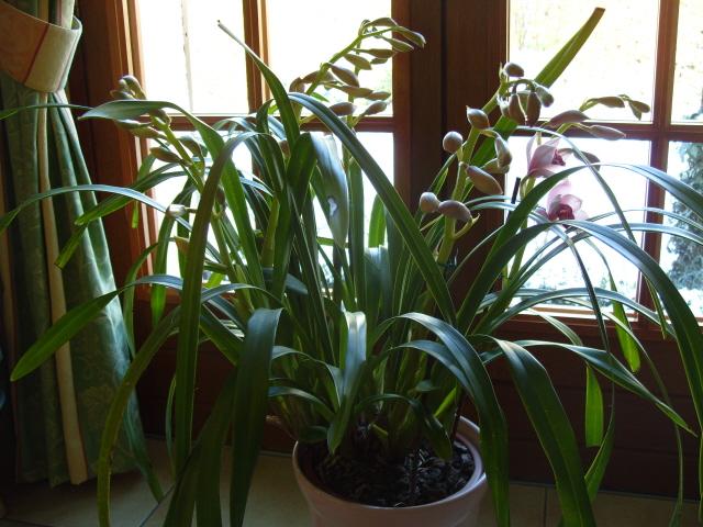 cymbidiums et phalaenopsis S1050216