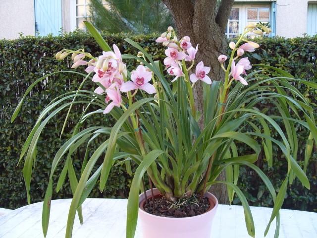 cymbidiums et phalaenopsis S1050219