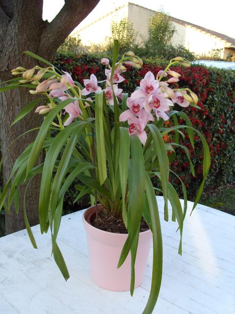 cymbidiums et phalaenopsis S1050222