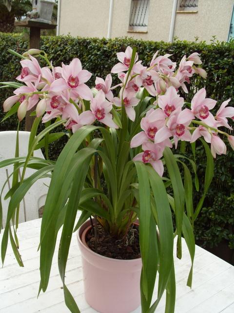 cymbidiums et phalaenopsis S1050312